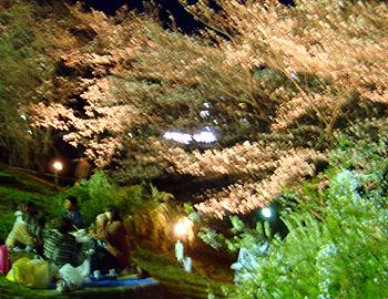 箕面の夜桜