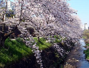 千里川沿いの桜