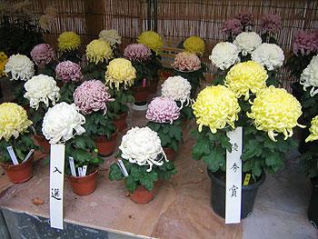 第43回箕面市菊花展