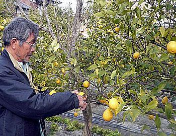 箕面にレモン畑!