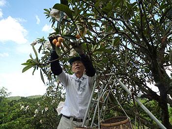とどろみ特産ビワの収穫がはじまりました!