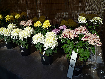 第44回箕面市菊花展、開催中!