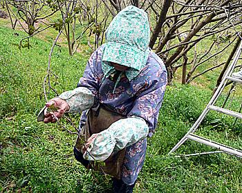 止々呂美で花サンショウの収穫はじまる