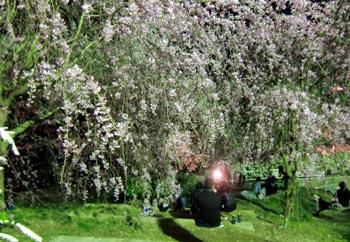 箕面のかくれた桜の名所「如意谷さくらまつり」