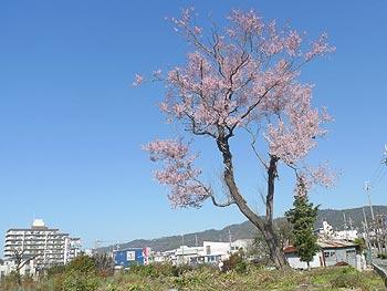 春の日の花と輝く…里のエドヒガン