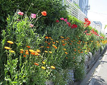 南小学校の通学路で色とりどりのお花!
