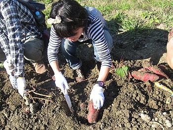 「ほっこりポテト農園」で芋掘り!