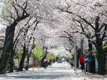 桜のトンネルの満開の下