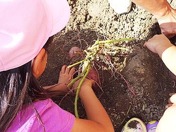 せいなん幼稚園の芋掘り