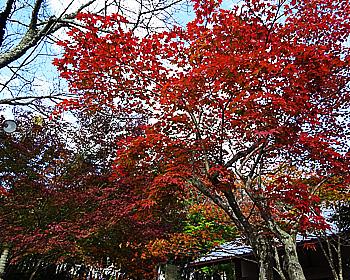 七五三の西江寺の紅葉は、色づき進む