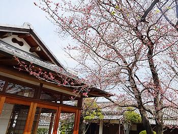 萱野三平記念館の桜