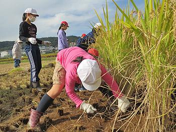 東小5年生の稲刈り体験