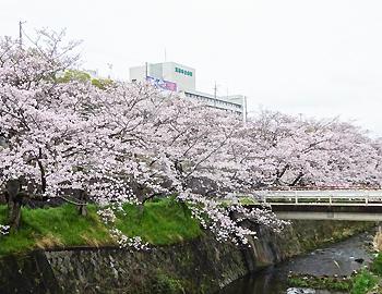 2017箕面サクラアルバム(萱野、稲、箕面)