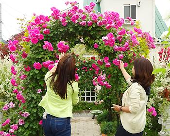 粟生外院のバラ園、今年も咲き誇っています!