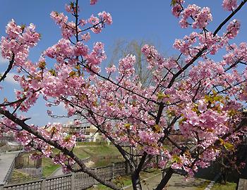 箕面の桜一番乗り?河津桜(カワヅザクラ)が満開です