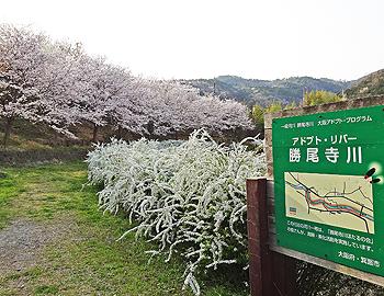 2018箕面サクラアルバム(粟生間谷西、小野原東)