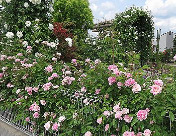粟生外院のバラ園、今年も美しく!