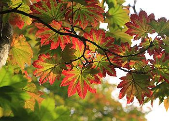 箕面観光ボランティアガイドさんの箕面の山の紅葉だより