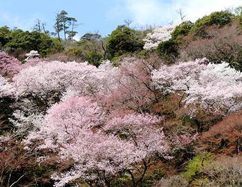 箕面の山は桜盛り