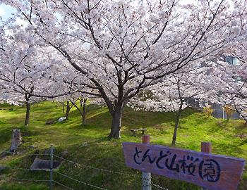 とんど山桜園、静かに満開