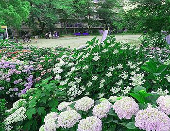 紫陽花繚乱