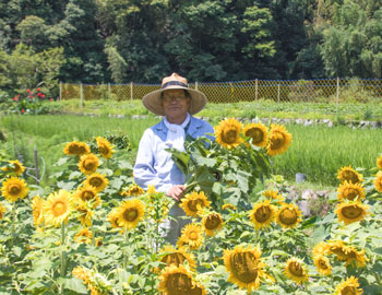 夏の風物詩、向日葵が満開!